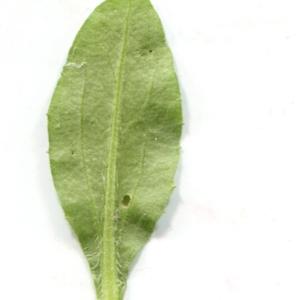 Photographie n°2141210 du taxon Bellis sylvestris Cirillo [1792]