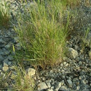 Photographie n°2141372 du taxon Brachypodium retusum (Pers.) P.Beauv. [1812]