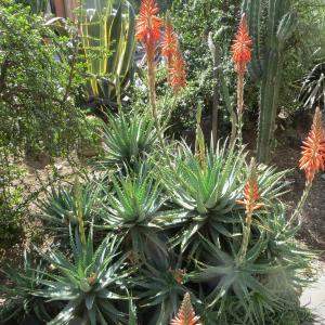 Photographie n°2141402 du taxon Aloe arborescens Mill. [1768]