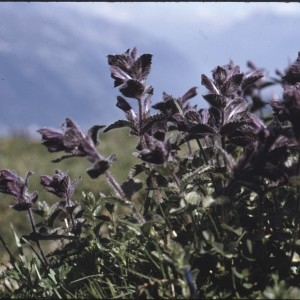 Photographie n°2141490 du taxon Bartsia alpina L. [1753]