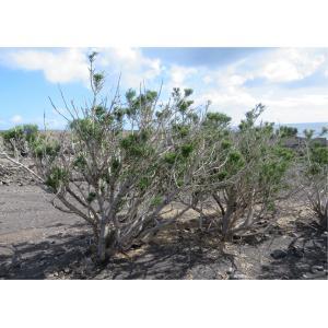Euphorbia aphylla Brouss.