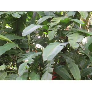 Heliconia rostrata Ruíz & Pavón (Pendula)