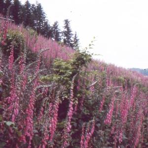 Photographie n°2141743 du taxon Digitalis purpurea L.