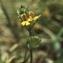 Liliane Roubaudi - Melampyrum cristatum L. [1753]