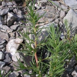Photographie n°2141864 du taxon Salsola kali L. [1753]