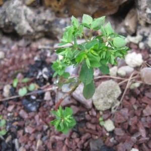 Photographie n°2141953 du taxon Euphorbia peplus L. [1753]