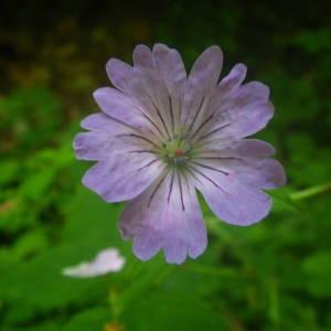 - Geranium nodosum L.
