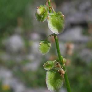 - Rumex scutatus L. [1753]