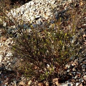 Photographie n°2142435 du taxon Jasminum fruticans L. [1753]