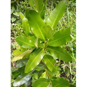 Calophyllum brasiliense var. antillanum (Britton) Standl. (Galba)