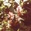 Liliane Roubaudi - Pedicularis verticillata L. [1753]