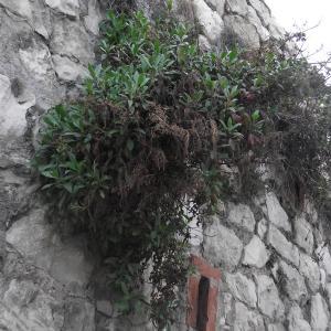 Photographie n°2142960 du taxon Centranthus ruber (L.) DC. [1805]