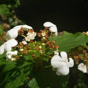 Photographie n°2143095 du taxon Viburnum opulus L. [1753]