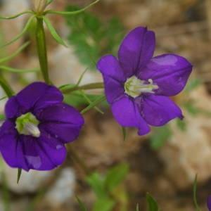 Photographie n°2143098 du taxon Legousia speculum-veneris (L.) Chaix