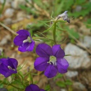 Photographie n°2143101 du taxon Legousia speculum-veneris (L.) Chaix