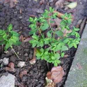 Photographie n°2143112 du taxon Euphorbia peplus L. [1753]