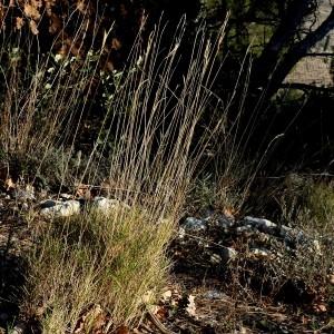 Photographie n°2143346 du taxon Brachypodium retusum (Pers.) P.Beauv. [1812]