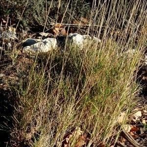 Photographie n°2143347 du taxon Brachypodium retusum (Pers.) P.Beauv. [1812]