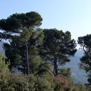Photographie n°2143360 du taxon Pinus halepensis Mill. [1768]