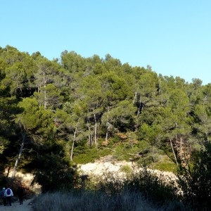Photographie n°2143361 du taxon Pinus halepensis Mill. [1768]