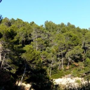 Photographie n°2143362 du taxon Pinus halepensis Mill. [1768]