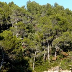 Photographie n°2143363 du taxon Pinus halepensis Mill. [1768]