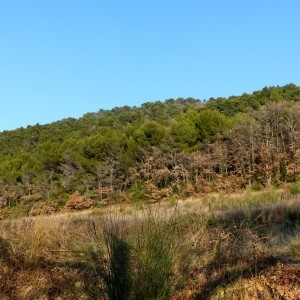 Photographie n°2143364 du taxon Pinus halepensis Mill. [1768]