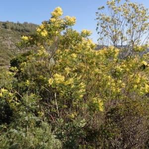 Photographie n°2143493 du taxon Acacia dealbata Link [1822]