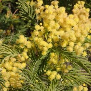 Photographie n°2143494 du taxon Acacia dealbata Link [1822]