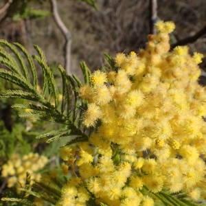 Photographie n°2143497 du taxon Acacia dealbata Link [1822]