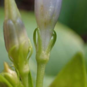 Photographie n°2143514 du taxon Vinca difformis Pourr. [1788]