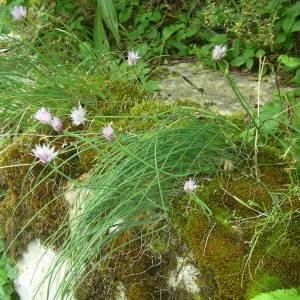 Photographie n°2143695 du taxon Allium schoenoprasum L.