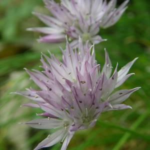 Photographie n°2143697 du taxon Allium schoenoprasum L.