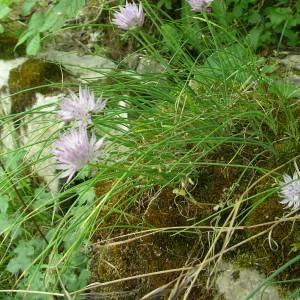 Photographie n°2143699 du taxon Allium schoenoprasum L.