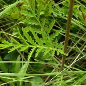 Photographie n°2143795 du taxon Tanacetum corymbosum (L.) Sch.Bip. [1844]