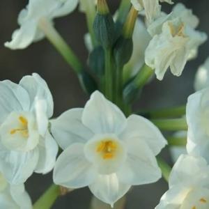 Photographie n°2144012 du taxon Narcissus papyraceus subsp. papyraceus