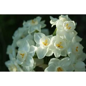 Narcissus papyraceus Ker Gawl. subsp. papyraceus (Paper-white Daffodil)
