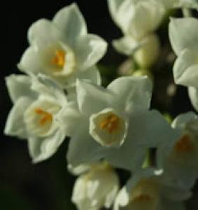 - Narcissus papyraceus subsp. papyraceus