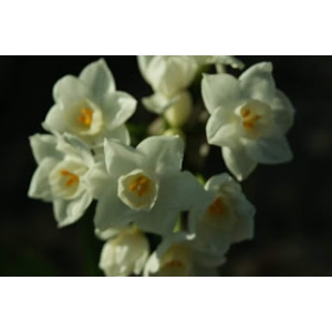 Narcissus papyraceus Ker Gawl. subsp. papyraceus (Paper-white Daffodil)