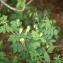 Liliane Roubaudi - Lathyrus luteus subsp. occidentalis (Fisch. & C.A.Mey.) P.Fourn. [1936]
