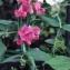 Liliane Roubaudi - Lathyrus sativus L.