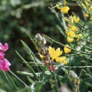 - Lathyrus sativus L.