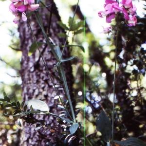 Photographie n°2144126 du taxon Lathyrus sylvestris L. [1753]