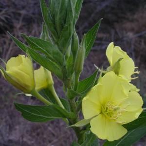 Photographie n°2144213 du taxon Oenothera biennis L. [1753]