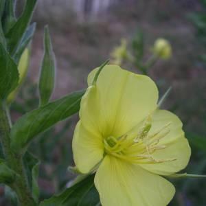 Photographie n°2144214 du taxon Oenothera biennis L. [1753]