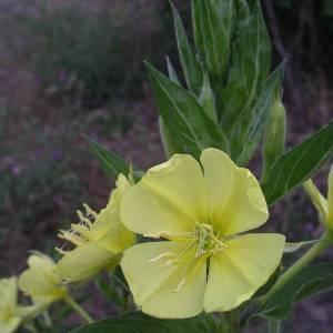 Photographie n°2144215 du taxon Oenothera biennis L. [1753]