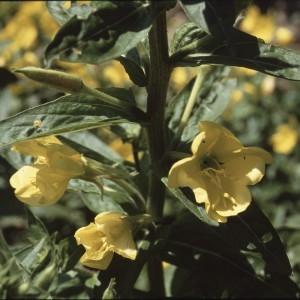 Photographie n°2144226 du taxon Oenothera biennis L. [1753]