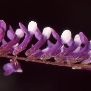 Vicia altissima Desf. [1799] (Vesce élevée)