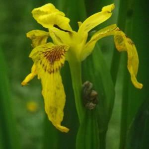 Photographie n°2144353 du taxon Iris pseudacorus L. [1753]
