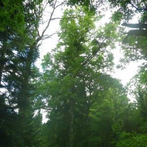 Photographie n°2144354 du taxon Quercus palustris Münchh.